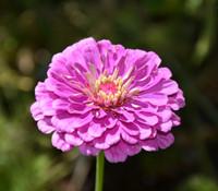 Zinnia elegans - Giant Violet Flowered  Zinnia