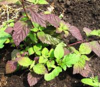 Phyla dulcis - Aztec Sweet Herb