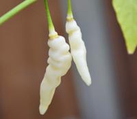 Murupi Amarela Pepper