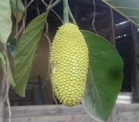 Artocarpus teysmannii - Cempedak Air