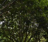 Canarium ovatum - Pili Nut