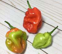 Aji Chombo Pepper