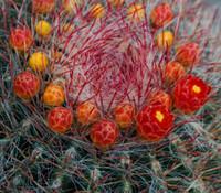 Ferocactus pilosus - Mexican Fire Barrel Cactus