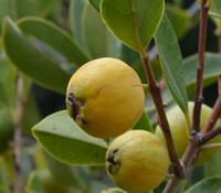 Psidium cattleianum var lucidum - Lemon Guava, Large