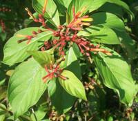 Hamelia patens - Mexican Firebush