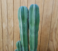 Stenocereus marginatus - Mexican Organ Pipe Cactus