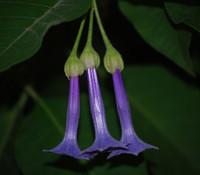 Iochroma grandiflora - Blue Angel's Trumpet