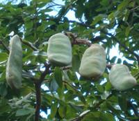 Hymenaea courbaril - Jatoba