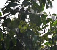 Syzygium samarangense - Green Wax Jambu