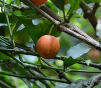Garcinia intermedia - Orange Lemon Drop Mangosteen