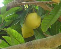 Pouteria campechiana - Canistel (pre-germinated)