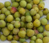 Prunus mume - Chinese Plum