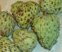 Annona cherimola x squamosa - Atemoya (pre-germinated)