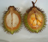 Cullenia exarillata - Wild Durian