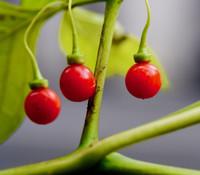 Tubocapsicum anomalum - Wild Japanese Pepper