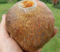 Annona reticulata - Tobago Pink Custard Apple