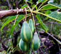 Carica lanceolata - Wild Papaya