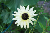 Helianthus annuus - Italian White Sunflower