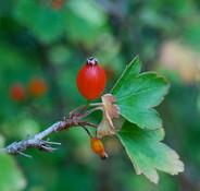 Ribes fasciculatum - Fragrant Currant
