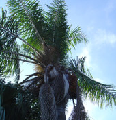 Syagrus romanzoffianum - Queen Palm