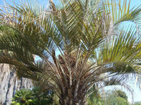 Butia eriospatha - Wooly Jelly Palm