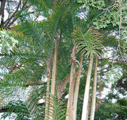 Bactris gasipaes - Peach Palm