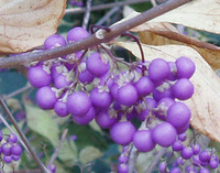 Callicarpa mollis - Japanese Beautyberry