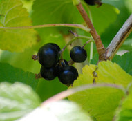 Ribes nigrum - Black Currant