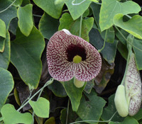 Aristolochia elegans - Calico Flower