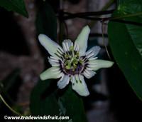 Passiflora colinvauxii -
