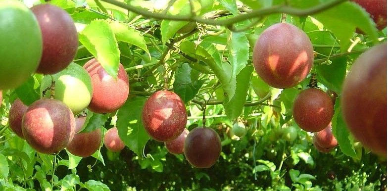 passion-fruit.jpg