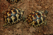 Ibera Greek tortoise for sale.