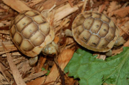 Baby golden greek tortoises.