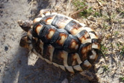 Juvenile Marginated Tortoise