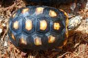 Juvenile Redfoot Tortoise