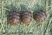 Baby (Black) Greek Tortoise