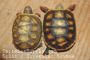 Baby Redfoot Tortoise - B Grade