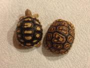 Baby Leopard Tortoise - B Grade