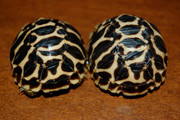 Baby Indian Star Tortoise - B Grade