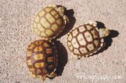 Baby Sulcata Tortoise Trio