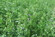 Seeds: Alfalfa - Non Dormant - 7 oz.