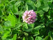 Seeds: Strawberry Clover - 7 oz.