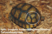 Baby Yellowfoot Tortoise - B Grade