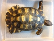 Marginated Tortoise - Adult Male