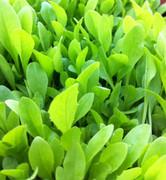 Seeds: Italian Dandelion - 4 oz.