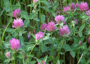 Seeds: Red  Clover - 7 oz.