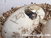 Baby Pancake Tortoise