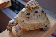 Baby and adult golden Greek tortoise.
