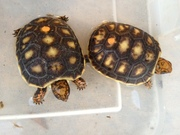 One month old Grenada Island redfoot tortoises
