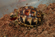 Baby Ibera greek tortoise